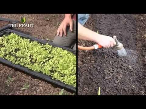 Comment planter la betterave jardinerie truffaut tv funnydog tv - Repiquer des framboisiers ...