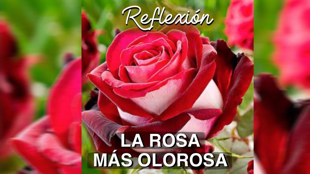 LA ROSA MÁS OLOROSA | REFLEXIÓN 🌹