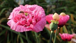 Schlafmohn (Papaver somniferum) Flower  ✔