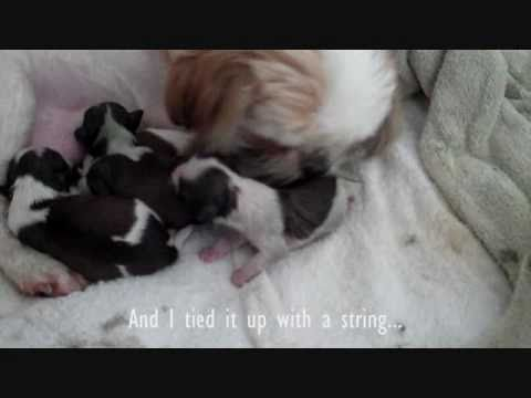 I caught my ShitZu giving a birth to 6 puppies today 4-30-2011