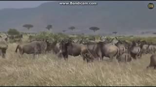 ~ Zwierzęta Afryki -  ANTYLOPY GNU i ZEBRY ~  Safari  01/10/2018