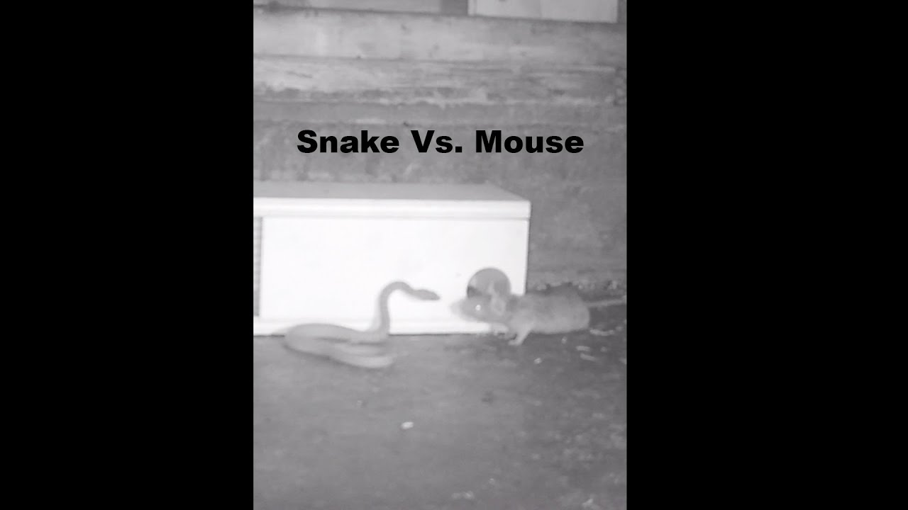 Snake Vs. Mouse. Mousetrap Monday Short
