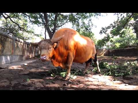 Wild Mithun Indian Bison Gaur Called Gayal In South Asia Video