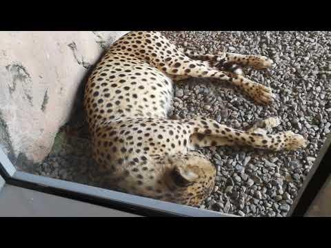 Cheetah at Arabia's Wildlife Centre Sharjah 28.04.2018