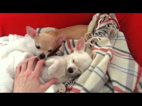 Cute chihuahua waking up