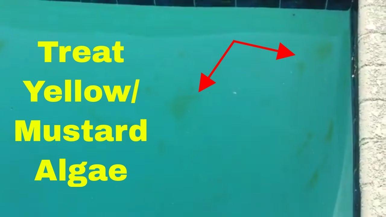 How to Treat Yellow Algae or Mustard Algae in Your Pool