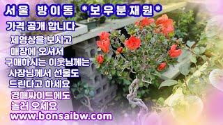 서울.방이동 #보우분재원 가격 공개~멋진 작품들 구경하…
