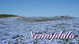 【4K】ネモフィラの丘〜国営ひたち海浜公園〜 ネモフィラの丘 検索動画 23