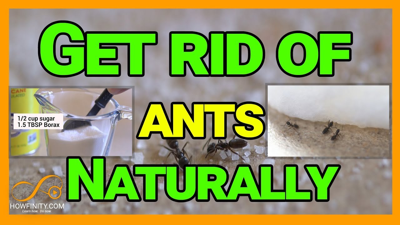 how to get rid of ants naturally with borax youtube. Black Bedroom Furniture Sets. Home Design Ideas
