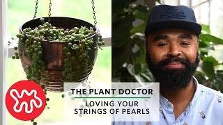 Loving Your Strings of Pearls | The Plant Doctor