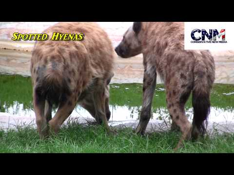Spotted Hyenas in HD