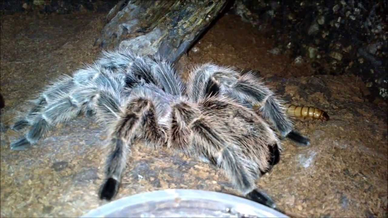 The pictures of big huge hairy spiders