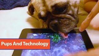 French Bulldog Playing On iPad