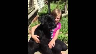 Http://www.akcgiantschnauzers.com/  One Of Our Giant Schnauzer Puppies With A Natural Ear