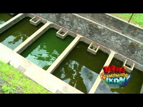 Tips & Trik Budidaya Ikan Lele | Deny Manusia Ikan Eps. 74 (2/3) GTV