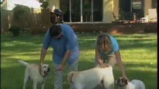 Yellow Lab Out Of Control Gets Trained....amazing! New You Network