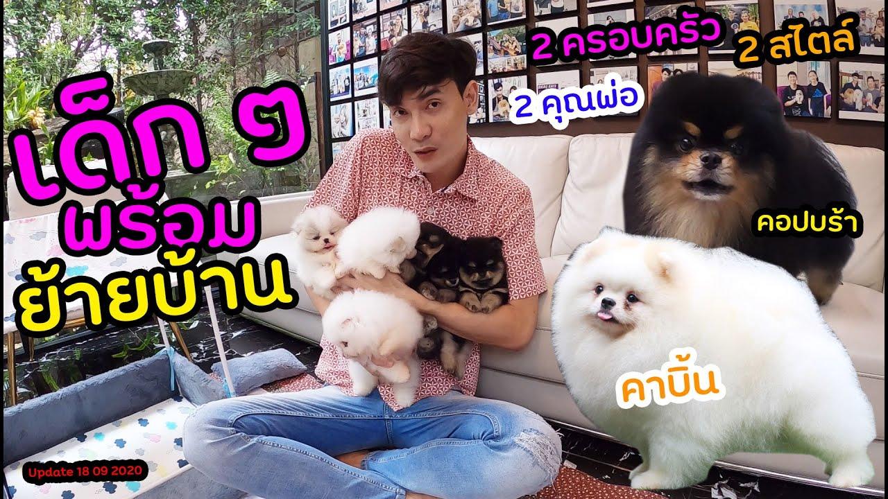 น้องปอมพร้อมย้ายบ้าน 2 ครอบครัว 2 สไตล์ 2 คุณพ่อ คาบิ้น คอปบร้า - Pomeranian Pups Available for Sale
