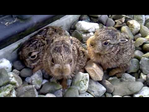 baby hare attack