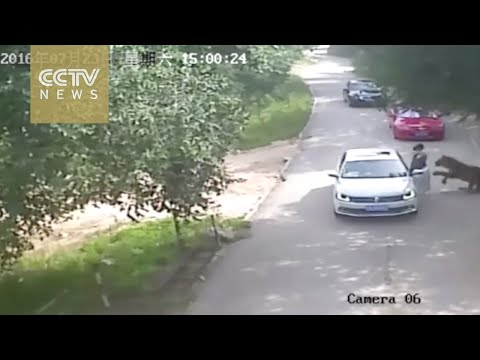 Footage shows shocking tiger attack in Beijing
