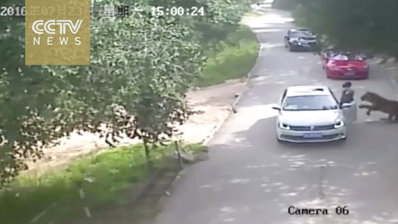 Footage Shows Shocking Tiger Attack In Beijing S Wildlife