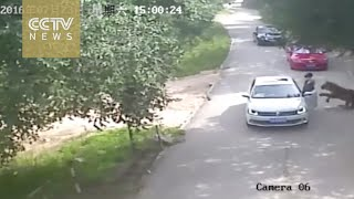 Footage shows shocking tiger attack in Beijing's wildlife park by : CCTV News