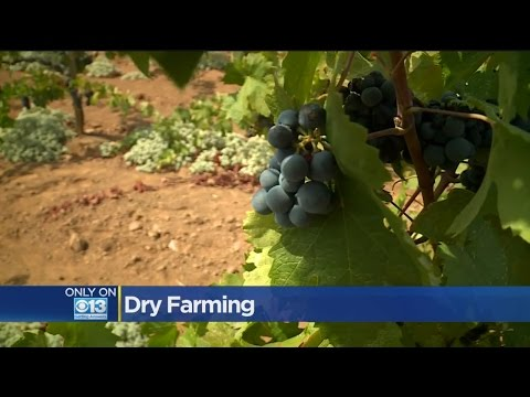 California Drought Puts Focus On Dry Grape Growing