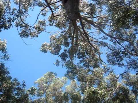Eucalyptus in Wind and Traffic - Part V