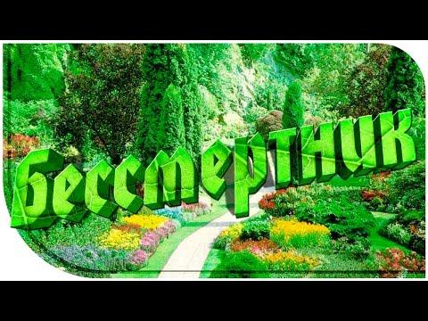 Бессмертник - лечебные свойства и противопоказания