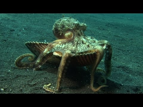"Introducing ""Kleptopus"", The Shell-Stealing Veined Octopus"