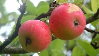 видео Польза яблок - ТОП 12 причин есть яблоки