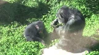 Download Video チンパンジー 双子の赤ちゃん169 Chimpanzee twin baby MP3 3GP MP4