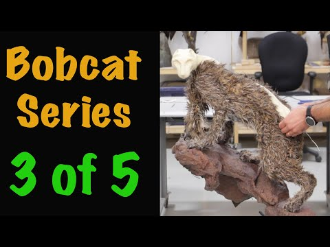 Bobcat Taxidermy Series. Part 3. MOUNTING STARTS PART BY PART. Art of Taxidermy