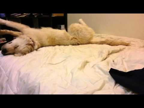 Golden Retriever Falls Off Bed