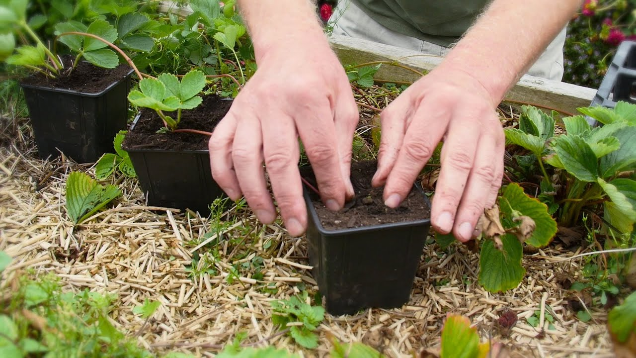 How to make new strawberry plants out of runners and plant for Plants that live long