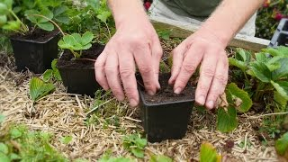 How To Make New Strawberry Plants Out Of Runners And Plant Tea Bushes