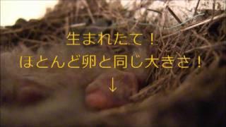 巣のフチまで顔を持ち上げてるお兄ちゃん(お姉ちゃん?)ヒナ3羽と ほ...