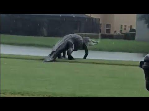 Massive-Alligator-on-Florida-Golf-Course-Looks-Like-Godzilla