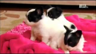 Симпатичные котята и щенки. Папийон