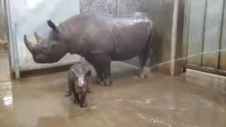 Primer baño de rinoceronte bebe es furor en Internet