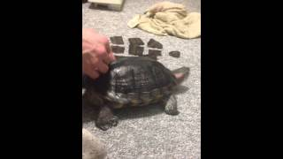 Helping my turtle shed