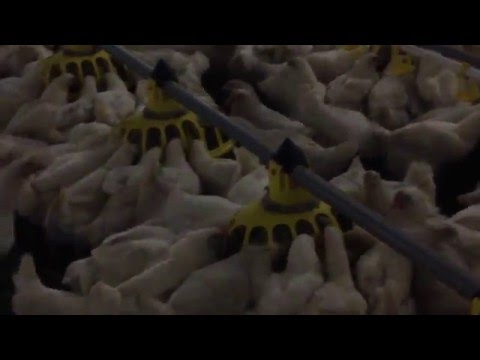 Vitoo™ - Unique pan feeding system for pullet rearing