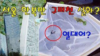 서울 한복판에 구피천이 진짜 열대어 구피가 살고있다