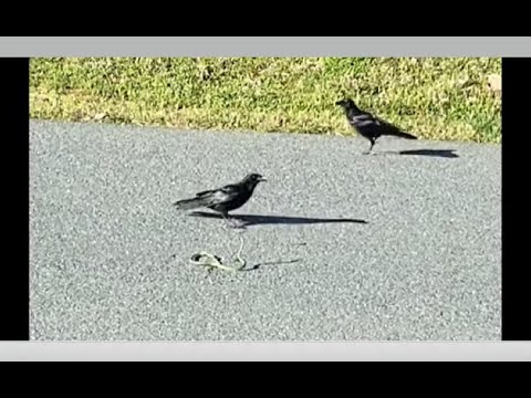 Animal Fights! Green Grass Snake Vs ENTIRE Flock Of Crows! Who Wins?