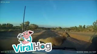 Funny Video: Kangaroo Jumps Into Driving Car