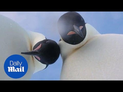 Curious penguins find camera and try to take a selfie - Daily Mail