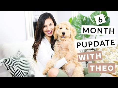 Theo Mini Goldendoodle 6 Month Pupdate