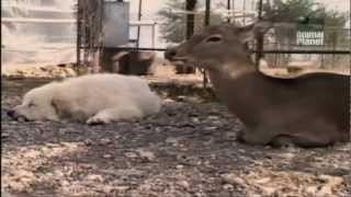 Все о собаках: Пиренейская горная собака [HD] Animal Planet