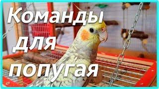 ОБУЧЕНИЕ ПОПУГАЯ КОМАНДАМ. Трюки для попугая. | Рокки Life