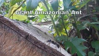 Giant ant Peru jungle