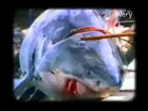 Shark Week- Fisherman Meets A Great White Shark